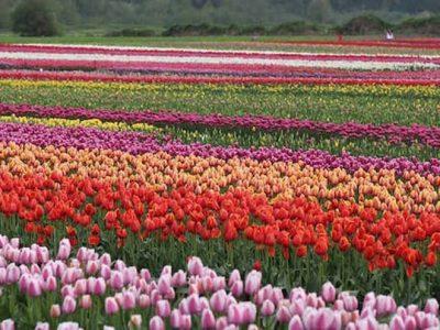 Abbotsford-tulip-festival